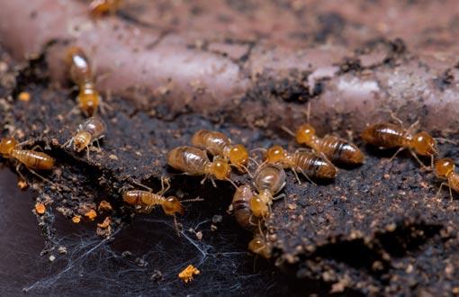 Termites mangeant du bois avant le diagnostic termites sur Grenoble